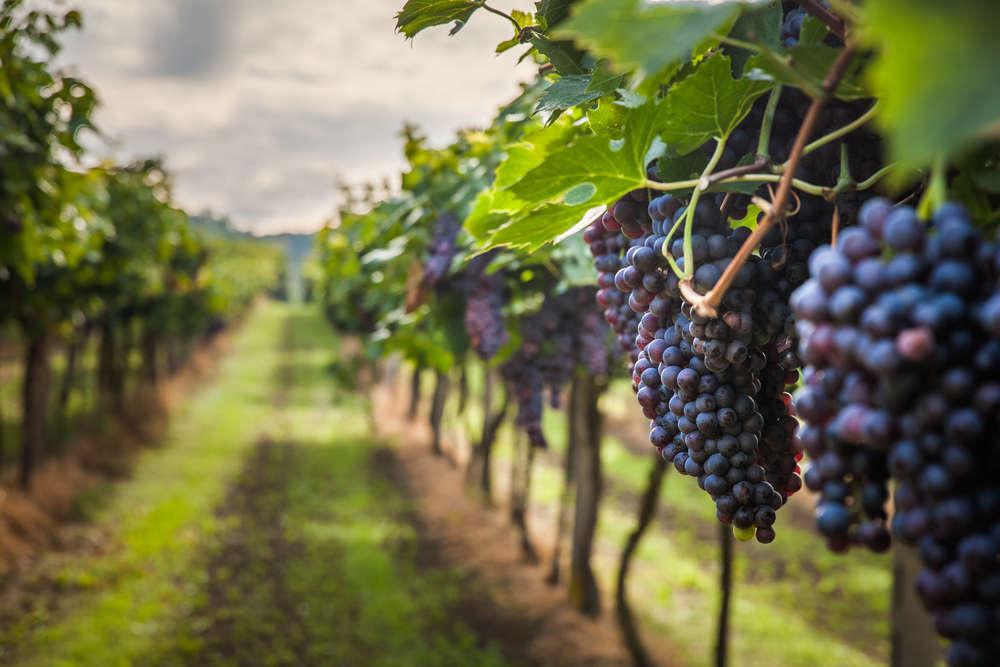 Aumenta el número de hectáreas de vid en España